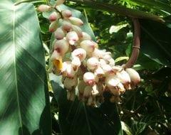 אלפיניה הדורה - עצי נוי | הדר נוי משתלות