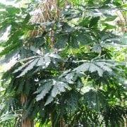 ארליה זוגיים - עצי נוי   הדר נוי משתלות