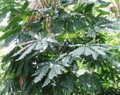ארליה זוגיים - עצי נוי | הדר נוי משתלות