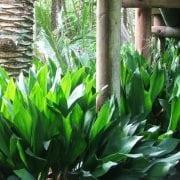 מגינית גבוה - עצי נוי   הדר נוי משתלות