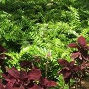 קירטומיון חרמשי - עצי נוי | הדר נוי משתלות
