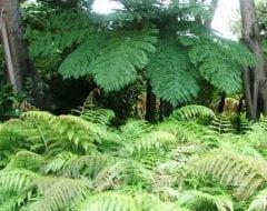שרך העץ - עצי נוי | הדר נוי משתלות
