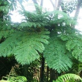שרך העץ - עצי נוי   הדר נוי משתלות