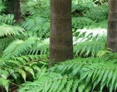 שרך היער - עצי נוי | הדר נוי משתלות