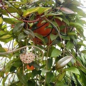 בת-שבע מטפסת - עצי נוי | הדר נוי משתלות
