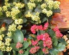 נצנית אדומה - עצי נוי | הדר נוי משתלות