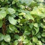 פותוס זהוב - עצי נוי | הדר נוי משתלות