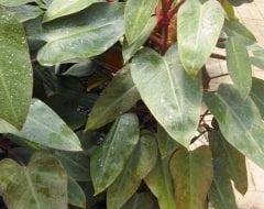 פילודנדרון מאדים - עצי נוי | הדר נוי משתלות