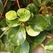 פפרומיה - עצי נוי | הדר נוי משתלות