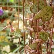 שעון זוחל - עצי נוי | הדר נוי משתלות