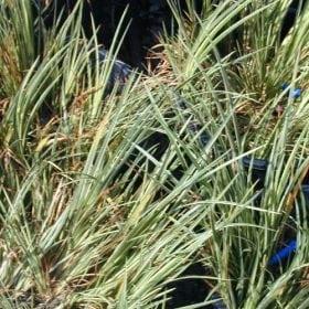 אקורוס דגני 'מגוון' - עצי נוי | הדר נוי משתלות