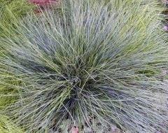 בן-אפר מכחיל - עצי נוי | הדר נוי משתלות