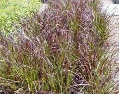 זיפנוצה זיפנית (ארגמנית) - עצי נוי | הדר נוי משתלות