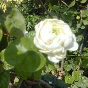 יסמין ערבי (פרח מלא) - עצי נוי | הדר נוי משתלות