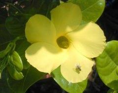 מנדוויליה הדורה - עצי נוי | הדר נוי משתלות