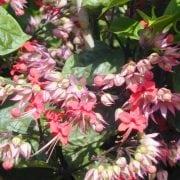 קלרודנדרון נאה - עצי נוי   הדר נוי משתלות