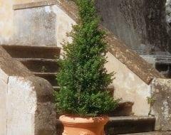 קמלייה- עצי נוי | הדר נוי משתלות