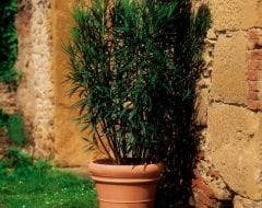 בורדו - עצי נוי | הדר נוי משתלות