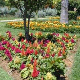 צלוסיה מכסיפה - עצי נוי | הדר נוי משתלות