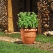 אטרוס - עצי נוי | הדר נוי משתלות