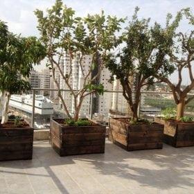 עצי פרי בוגרים נושאי פרי - עצי נוי | הדר נוי משתלות