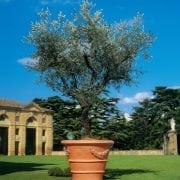 אורנטו - עצי נוי | הדר נוי משתלות