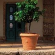 רוסו - עצי נוי | הדר נוי משתלות