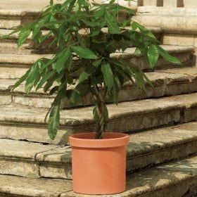ואסו - עצי נוי | הדר נוי משתלות