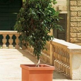 סיפי - עצי נוי | הדר נוי משתלות