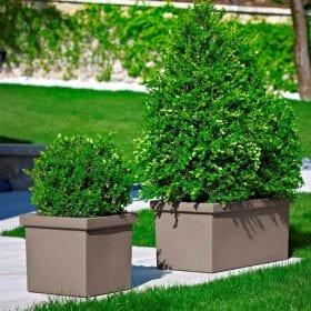 אדנית סיפי - עצי נוי | הדר נוי משתלות