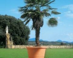 טמפיו - עצי נוי | הדר נוי משתלות