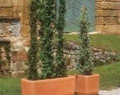 אדנית טוליקי - עצי נוי | הדר נוי משתלות