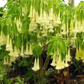 ברוגמנסיה, זני מכלוא (דטורה) - עצי נוי | הדר נוי משתלות