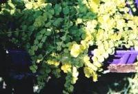 ליסימכיה עגולת-עלים (מוזהב) - עצי נוי | הדר נוי משתלות