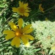 עינן מסרקני - עצי נוי | הדר נוי משתלות