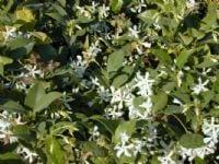 טרכלוספרמון יסמיני - עצי נוי | הדר נוי משתלות