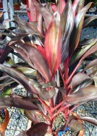 קורדילינה אדומה - עצי נוי | הדר נוי משתלות