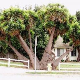 יוקה פילית - עצי נוי   הדר נוי משתלות
