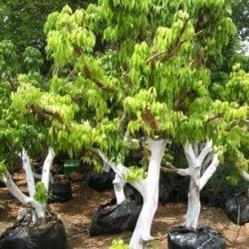 הנחיות לנטיעת עץ ליצ'י בוגר - עצי נוי | הדר נוי משתלות