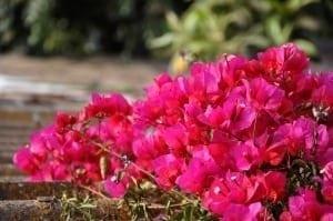 צמחיה לגינות גג - עצי נוי | הדר נוי משתלות