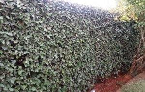 גידור באמצעות צמחיה - עצי נוי | הדר נוי משתלות