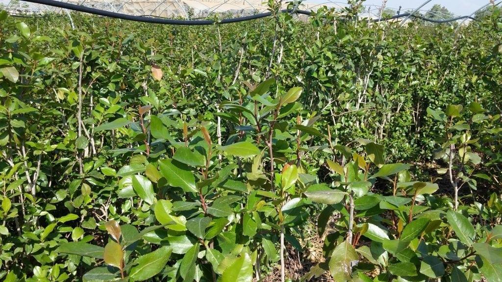 מדריך לגידול גת - עצי נוי | הדר נוי משתלות
