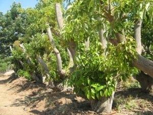 עץ אבוקדו בוגר