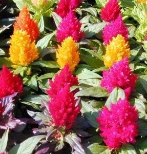 פרחי עונה - עצי נוי | הדר נוי משתלות