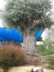 עצי זית - כל מה שצריך לדעת - עצי נוי | הדר נוי משתלות