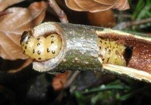 סס הנמר - עצי נוי | הדר נוי משתלות