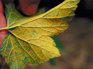 חילדון - עצי נוי | הדר נוי משתלות