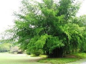 הסתרה ובידוד - עצי נוי | הדר נוי משתלות