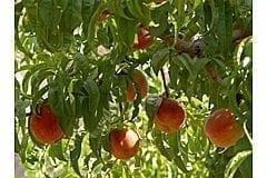 עצי פרי - עצי נוי   הדר נוי משתלות