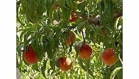 עצי פרי - עצי נוי | הדר נוי משתלות